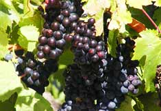 wine grapes in vineyard for wine