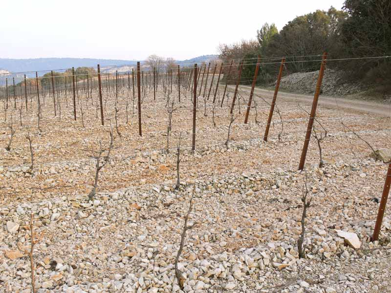 young hardy vines, minervois, herault, languedoc