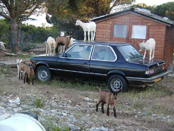 Goats about to drive to town for a night out